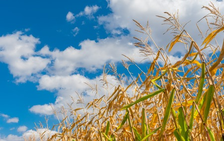 Stalks of maize close-up against blue cloudy sky at fall season Stock Photo