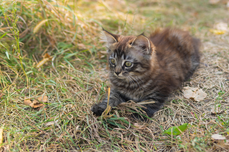 starring: Tabby kitten looking with interest while playing outdoor