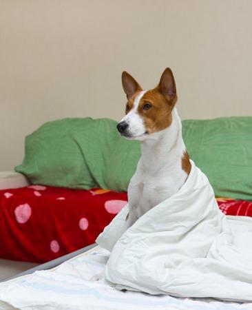 Bed scene with dog (basenji) model.