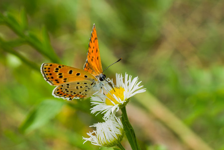 common blue: Common Blue (female) butterfly on a wild camomile flower. Stock Photo
