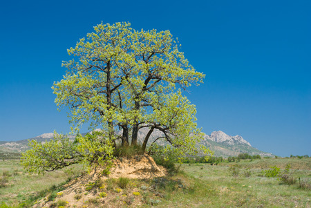 Landscape with splendid lonely oak on a hill against Eastern Crimean mountains at spring season. Stock Photo