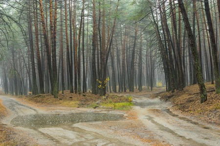 on forked: Forked sandy roads in rainy pine forest in Ukraine