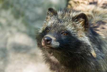Portrait of raccoon dog hypnotizing visitors for to get unscheduled lunch. Stock Photo