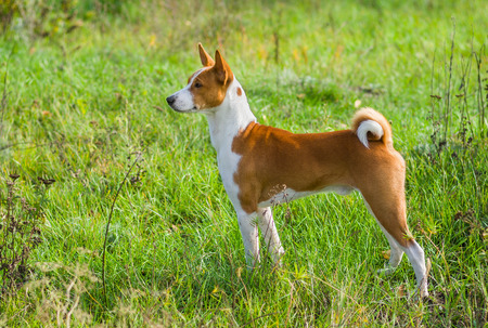 Cute Basenji dog - troop leader in the wild autumnal grass.