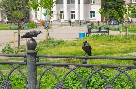 abuses: Family of two jackdaws using bad human habit - abuses each others sitting a cast-iron fence in Ukrainian city Poltava
