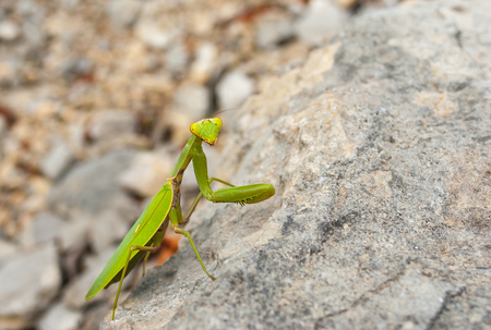 European mantis sitting on a stone in Crimean mountains near Black Sea shore