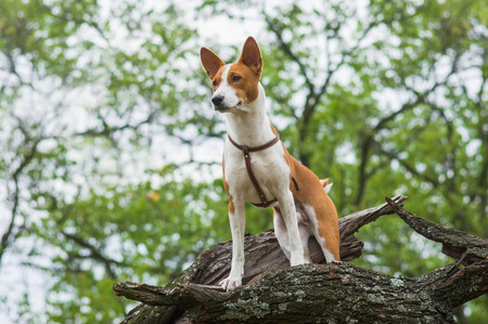 Cute Basenji dog - troop leader on the tree branch looking into the distance  Banco de Imagens