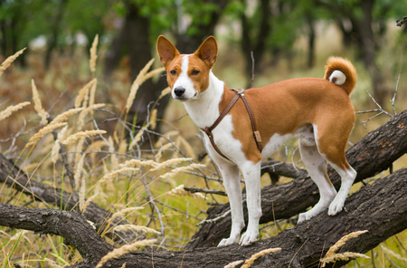 Basenji dog - troop leader on the tree branch looking into the distance