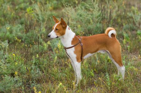 troop: Cute Basenji dog - troop leader in the wild grass.