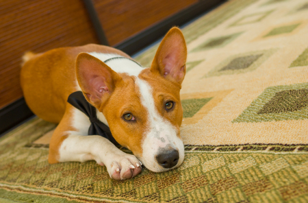 Indoor portrait of basenji dog lying at the floor and waiting for the master. Stock Photo