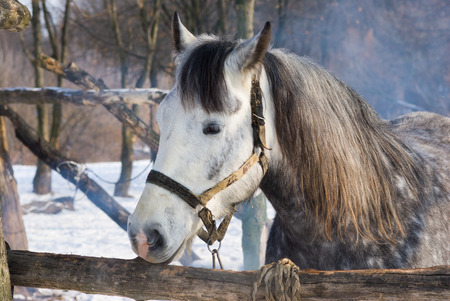 quadruped: Portrait of dappled mare at winter open stall  Stock Photo