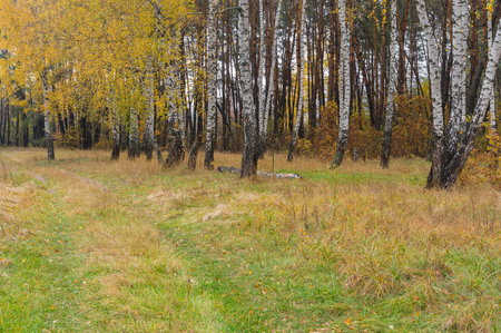 earth road: Fall landscape with earth road to birch grove in Ukraine