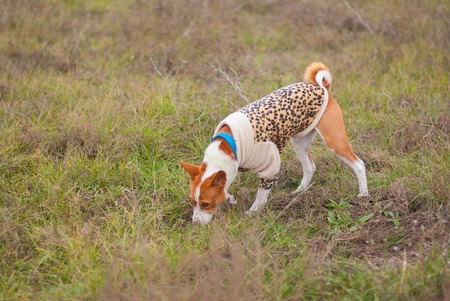 sniff: Basenji dog wearing leopard style coat sniff around while hunting in an autumnal field  Stock Photo
