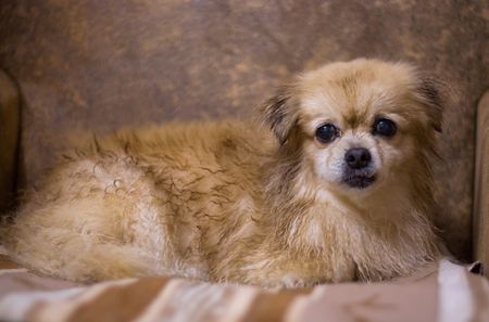 long haired chihuahua: Portrait of long haired chihuahua closeup in old-fashioned decor. Stock Photo
