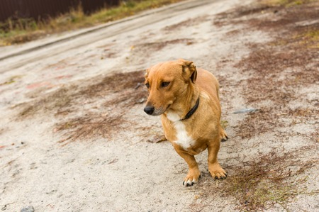 earth road: Cute cross-breed short-legged dog waiting for the master on an earth road