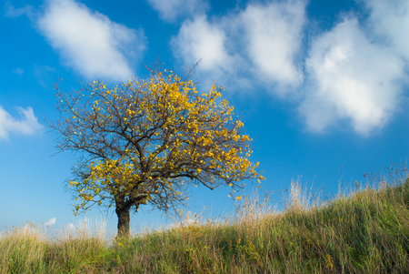 Lonely apricot tree on a hill against blue cloudy sky at autumnal time. Stock Photo