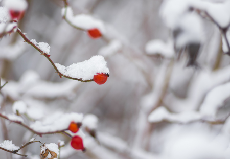 Small branch of rose-canina (dog-rose) with berry bending under a snow cap Stock Photo