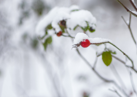 Branch of rose-canina with berry bending under a snow cap Stock Photo