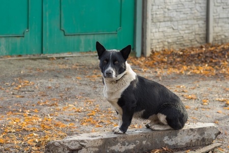 defend: Cute black, stocky, mixed breed dog sitting near masters gate and ready to defend its territory