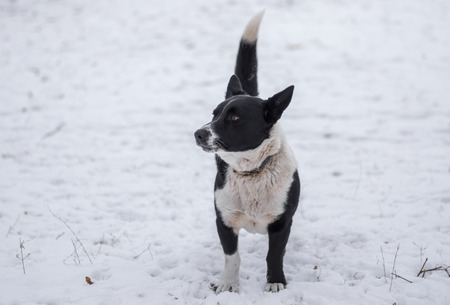 defend: Cute black, stocky, mixed breed dog standing on a winter street ready to defend its territory Stock Photo