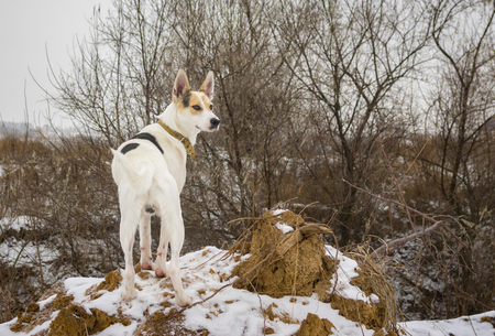 loamy: Outdoor portrait of white mixed breed dog watching nearest to his home territory standing on a loamy hillock