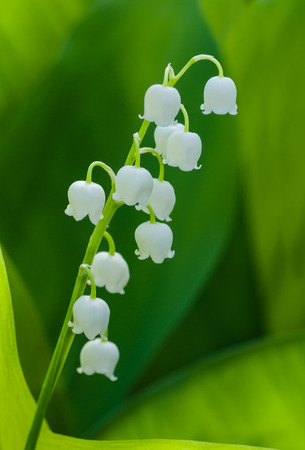 legends: Lily of the Valley in the morning garden.