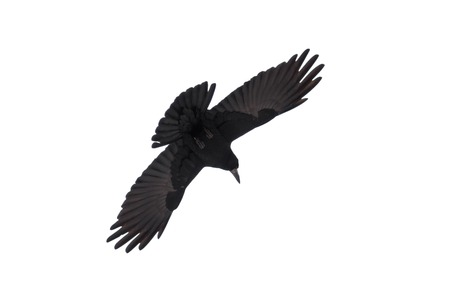 prudent: Graceful raven in fly spread its wings against white background