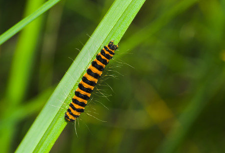 Tiny orange caterpillar with black stripes is ready to gobble all the grass around. Stock Photo