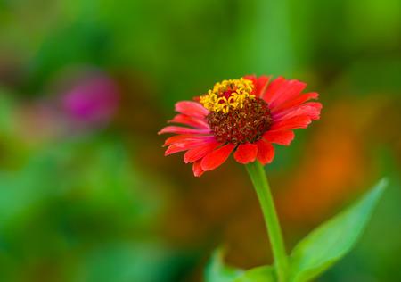 variegated: Beautiful Zinnia flower against motley, summer background (Shallow DOF).