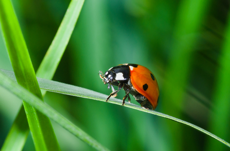Lonely ladybird in green grass jungle.