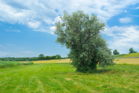 Ukranian landscape with lonely silverberry tree on a water-meadow.