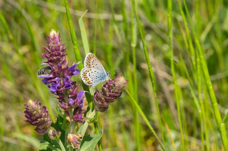 Common Blue (Polyommatus icarus) butterfly searching nectar on a wild sage in field of young wheat in Ukraine
