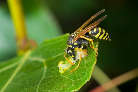 flesh eating animal: Predators meal in secluded nook - big wasp eating caterpillar delicatessen.