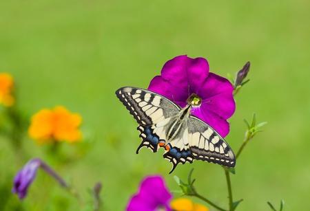 magentas: Beautiful petunia flower is feeding machaon butterfly.