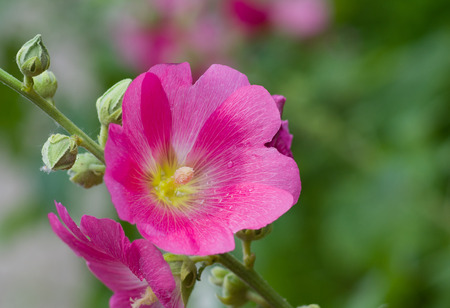 herbaceous: Inflorescence of Malva flower at start of flowering time. Stock Photo