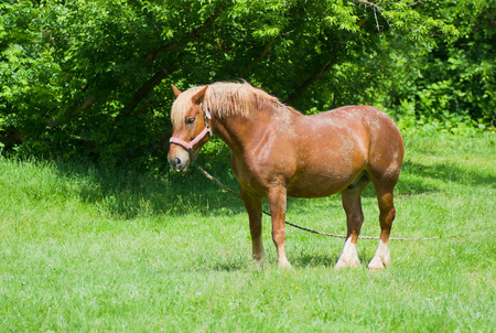 Retired draft horse named Arnold is luxuriating in the sun on summer pasture.