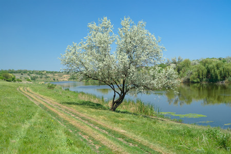 Ukrainian rural early summer landscape with lonely silverberry tree beside small river Sura. Stock Photo