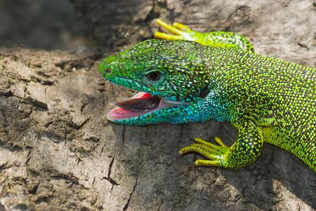 Portrait of European green lizard (Lacerta viridis).