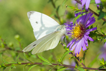 Beautiful Cabbage Butterfly (Pieris brassicae) on a garden flower at sunny day. Stock Photo