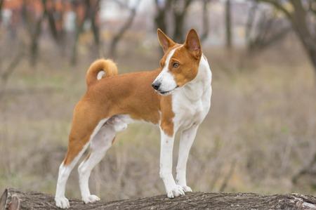 Brave Basenji dog standing on a tree branch