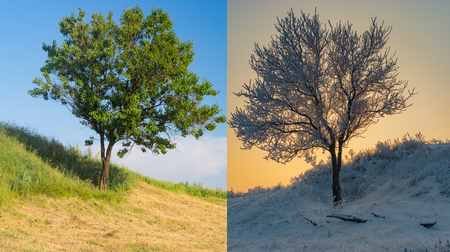 Apricot tree on a hill in two opposite season - summer and winter Stock Photo
