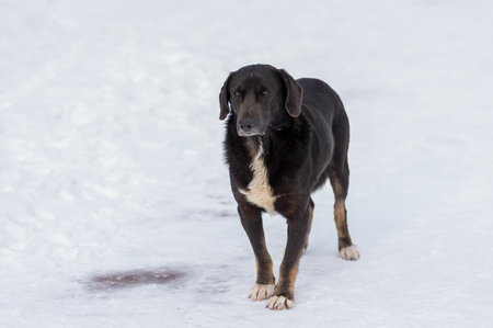 Portrait of mixed breed black stray dog on a winter street