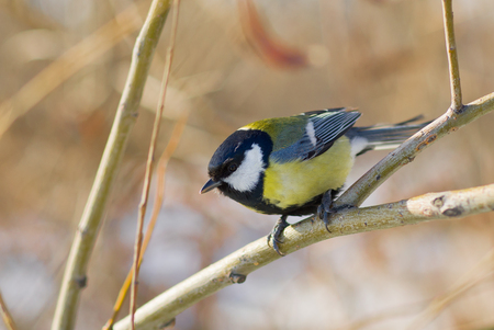 Little cute blue tit sitting on a branch under winter sunlight and locating for the food.