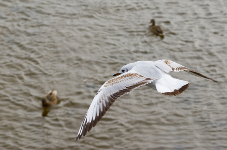 Gull in fly over a river patrolling duck troops.