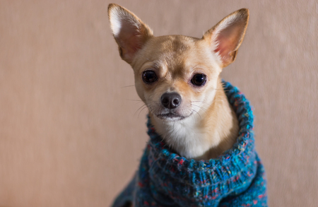 Indoor portrait of curious Chihuahua wearing knitted sweater