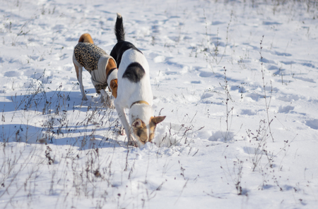 Three dogs hunting fore small rodents under fresh snow Banco de Imagens