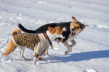 Basenji male dog attacking mixed-breed female dog on a fresh snow Banco de Imagens