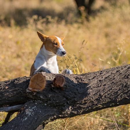 Wild Basenji dog exploring fallen tree on its territory Banco de Imagens
