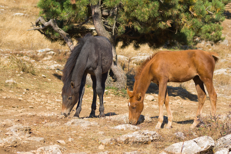 Two young horses (foal) is trying to find some food on dry, burned out earth .