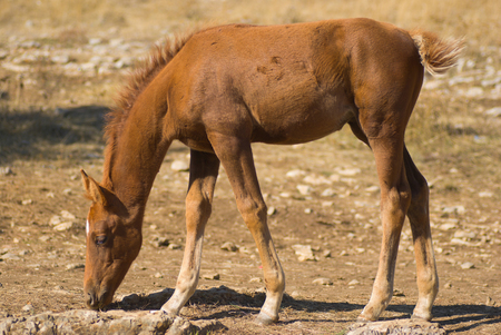 gramma: The young of a horse (foal) eating some dry grass.